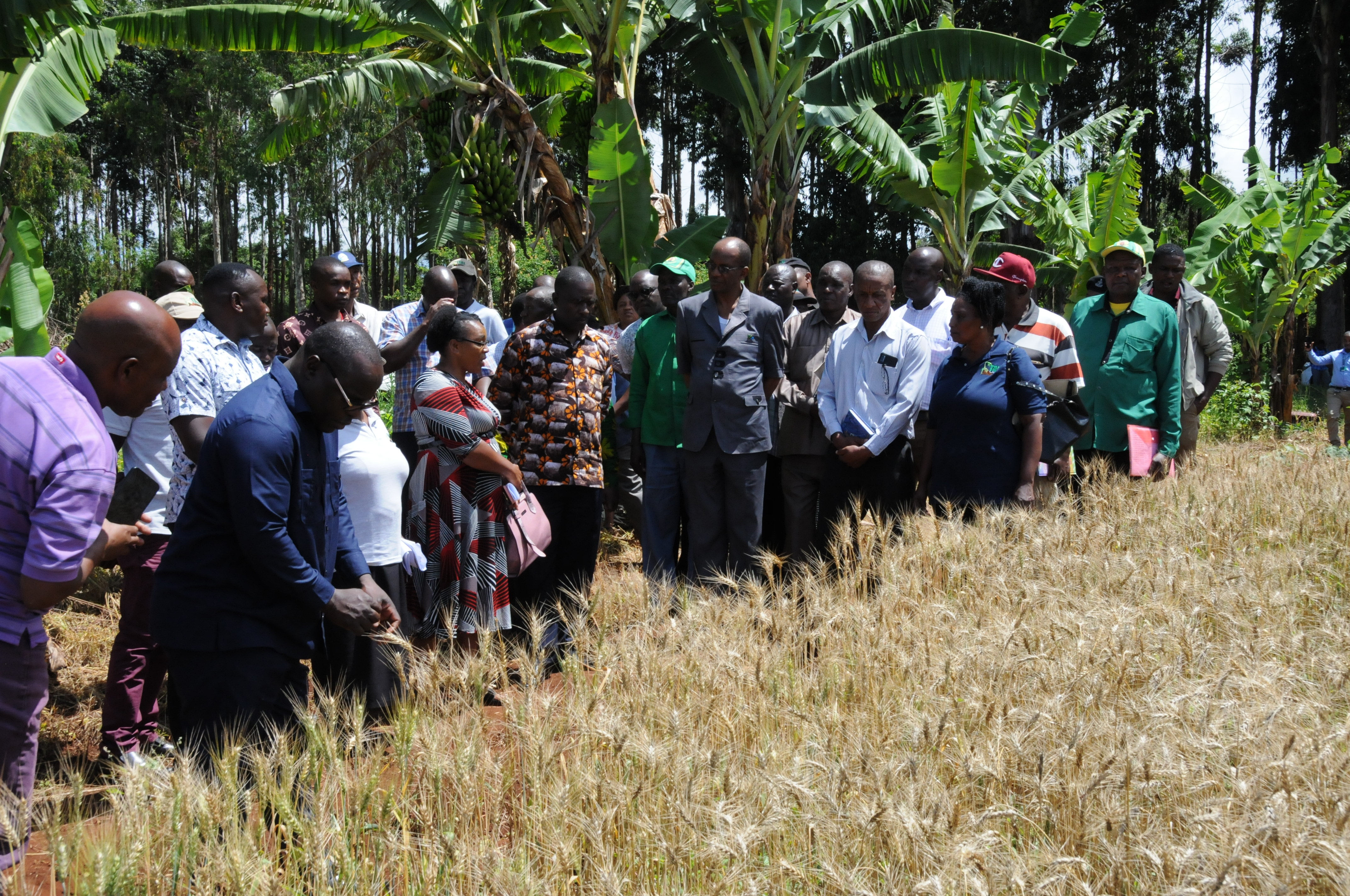 Ms Ishika Mshaghuley from TARI HQ gives details on wheat varieties to government officials and farmers during wheat field day at Mwangaza, Siha District, Kilimanjaro
