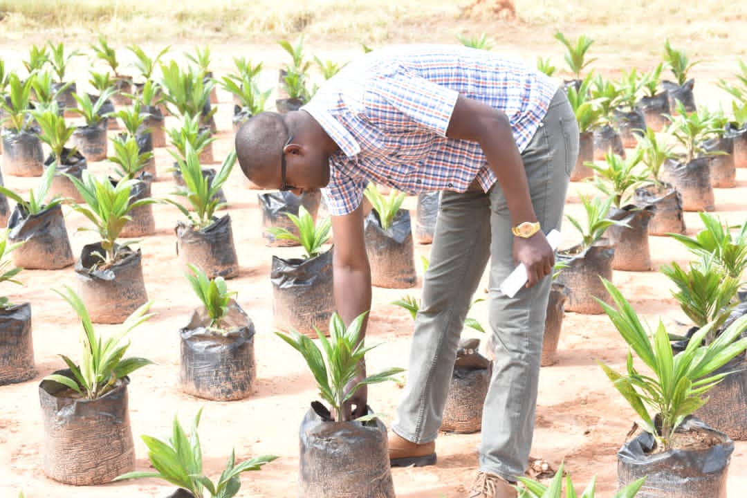TARI Kihinga Research Center continues to produce quality Oil palm seeds