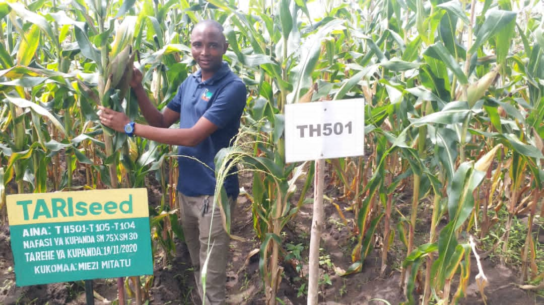 One of the TARI Tumbi Maize demonstration plots