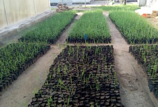 Sugarcane Improvement