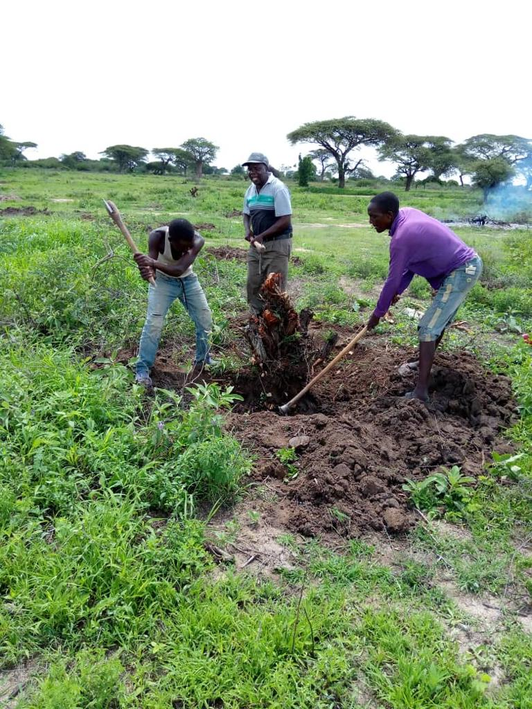 FIELD PREPARATION  Dr. Lameck Makoye Centre Manager  with casual Laboures participating in distumping land ready for cultivation. 24/12/2020.